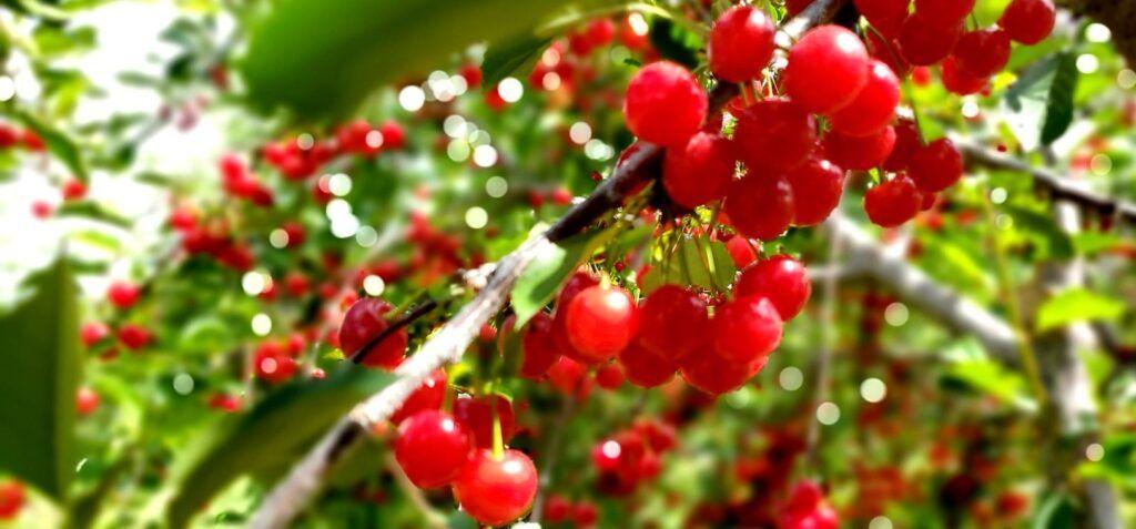 Cherry Harvest Tours
